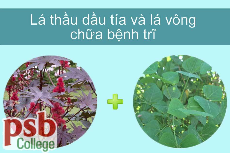 Hình ảnh cây thầy dầu tía chữa bệnh trĩ
