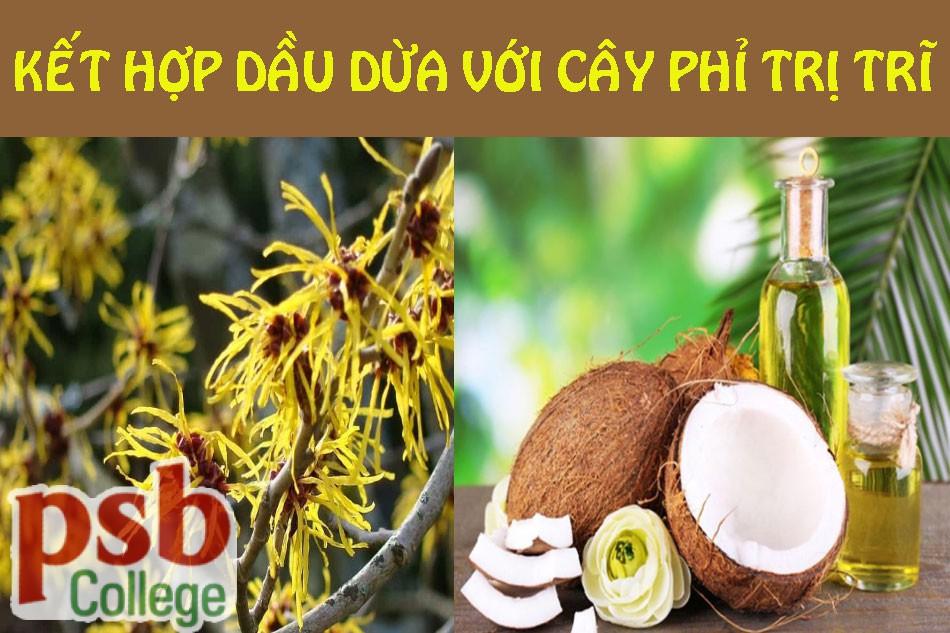 Kết hợp dầu dừa và cây phỉ chữa bệnh trĩ