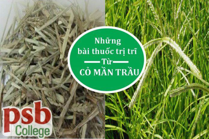 Hình ảnh cỏ mần trầu chữa bệnh trĩ