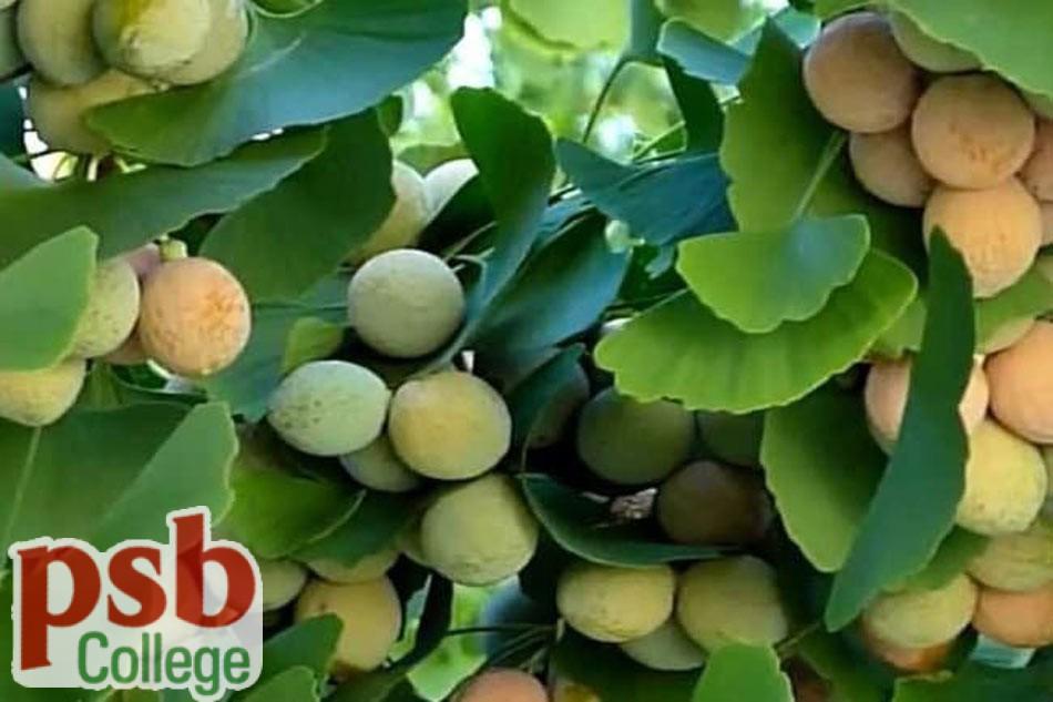 Ginkgo Biloba ( Bạch quả)