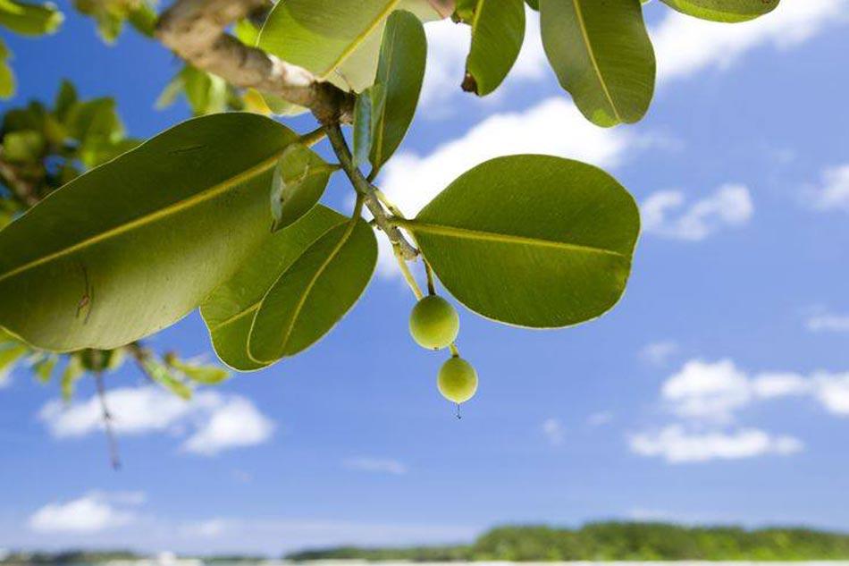 Hình ảnh cây mù u